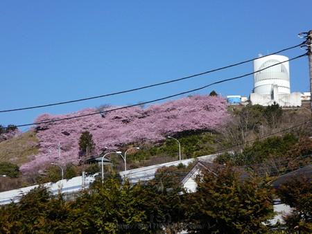 170228-松田町 河津桜 (1)