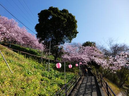 170228-松田町 河津桜 (6)