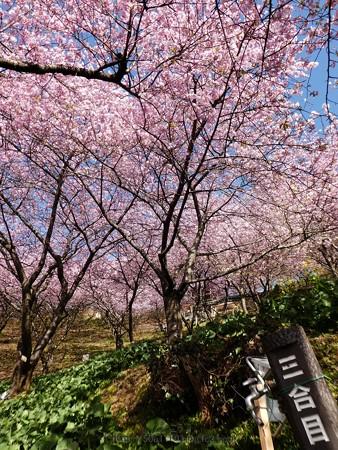 170228-松田町 河津桜 (20)