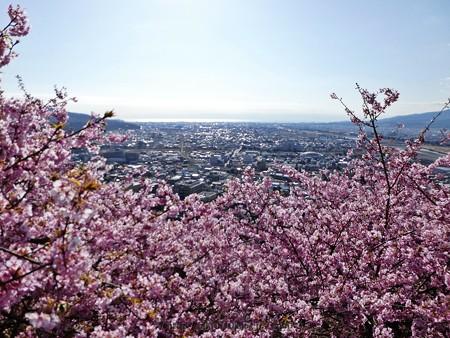 170228-松田町 河津桜 展望台 (24)
