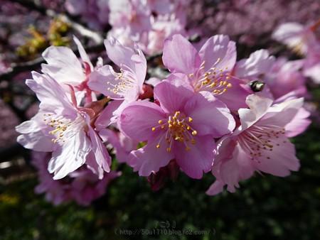 170228-松田町 河津桜 (88)
