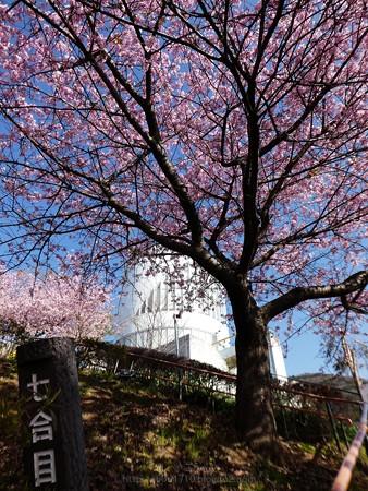 170228-松田町 河津桜 (43)