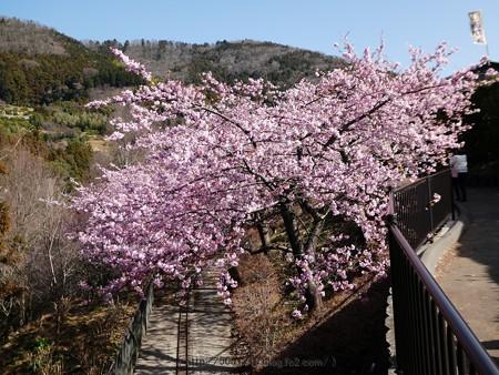 170228-松田町 河津桜 (121)