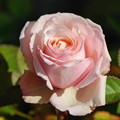 ピンク色のアンドロメダ2016.12.24