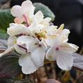 冬に咲いたアジサイ
