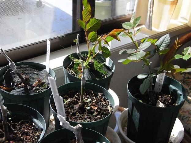 Photos: 今年のミニバラ接木の成長差