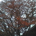 写真: 千里の紅葉。