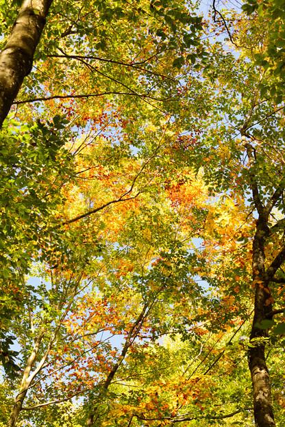 写真: 美人林の黄葉2