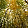 リベンジ美人林の黄葉