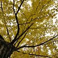 写真: 銀杏の黄葉