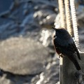 写真: 海辺のイソヒヨドリ