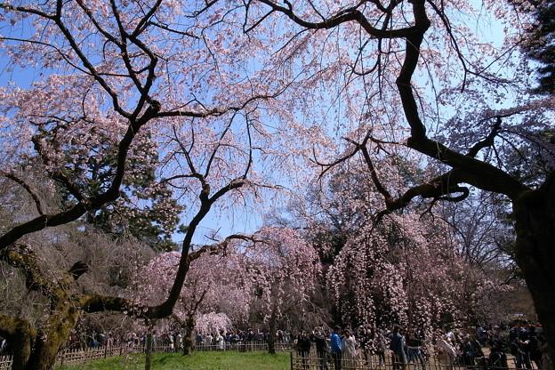 御所の桜23614