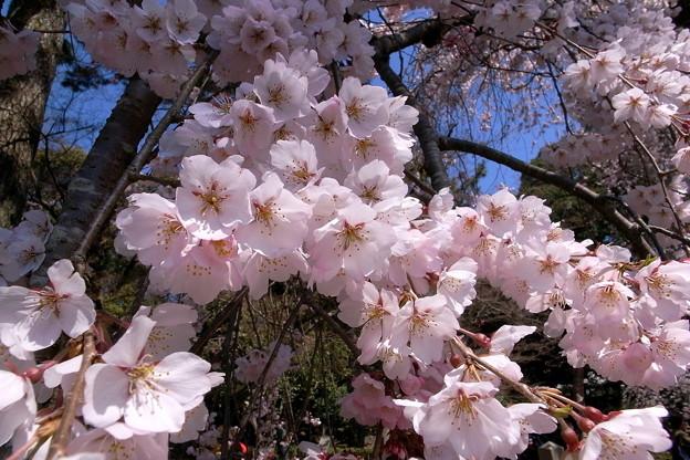御所の桜23645