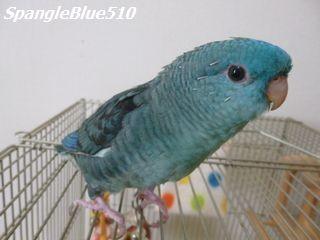 P1060707 ぽっぽ 50% SpangleBlue510