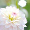 Dahlia in Wonderland fuwatto
