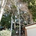 人見稲荷神社のシラカシ