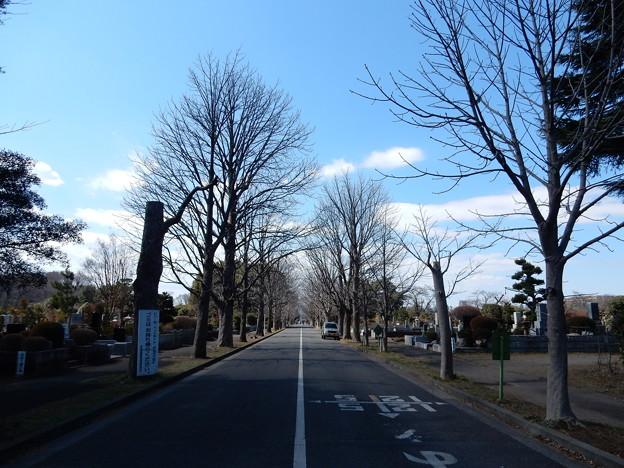 Photos: 多磨霊園のトチノキ並木