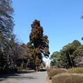 Photos: 多磨霊園のスギ
