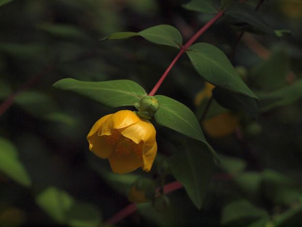 東慶寺黄色い花20160612