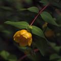 Photos: 東慶寺黄色い花20160612