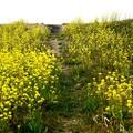 菜の花の登り坂