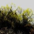 早春の柳の緑