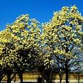 辛夷の大木の花