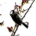 梅の花を啄む四十雀