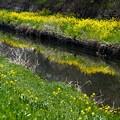 水面への菜の花の反映