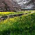 桜の木の下の菜の花