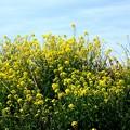 見上げる菜の花