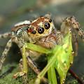 デーニッツハエトリ雌、捕カメムシ幼虫