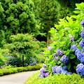 紫陽花のある下り坂