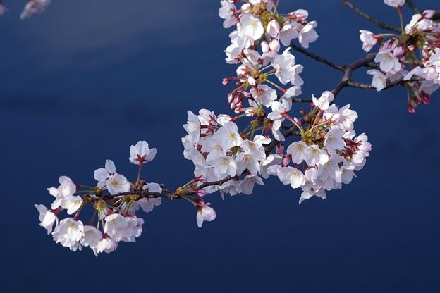 川辺に咲く近所の桜