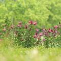 Photos: 初夏に咲く