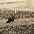 ナベ鶴 幼鳥(3)