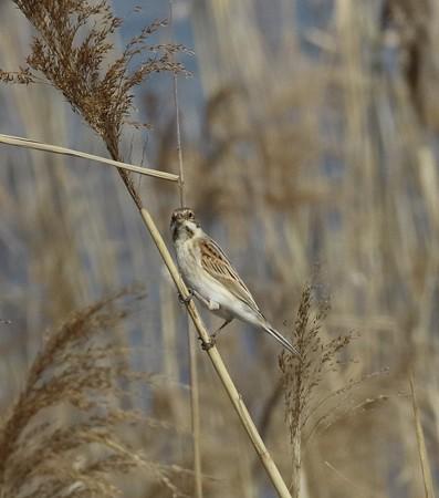 野鳥(1093)−オオジュリン、蘆原で