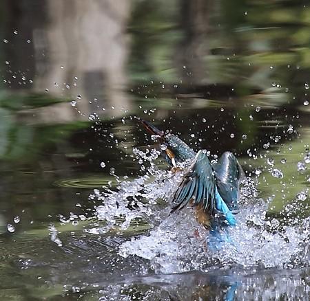 カワセミ(201)−飛び込み水浴♀、きれい、きれい