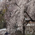東郷寺 枝垂れ桜(5)