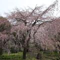 東郷寺 枝垂れ桜B55R0037