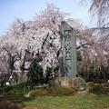 東郷寺 枝垂れ桜(2)