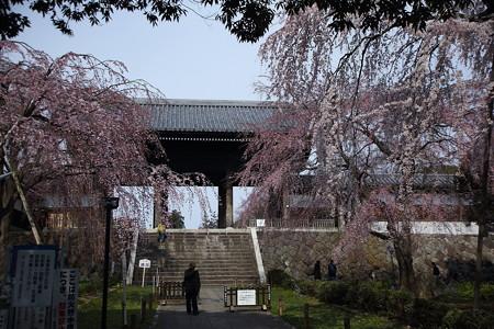 花(55)−枝垂れ桜、 東郷寺