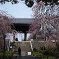 東郷寺 枝垂れ桜(1)