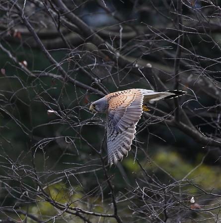 チョウゲンボウ   飛翔(1)