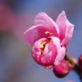 写真: 弾ける春