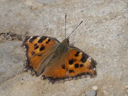ヒオドシチョウの越冬個体(2)