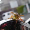 ペリカンの家の蜂 (1)