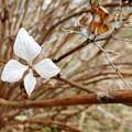 冬の紫陽花 (4)