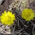 写真: 福寿草が開花