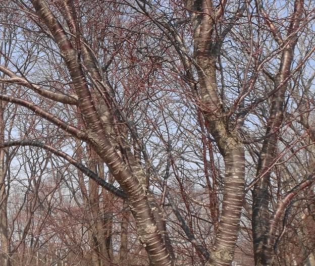 桜の木 花芽も出ていない